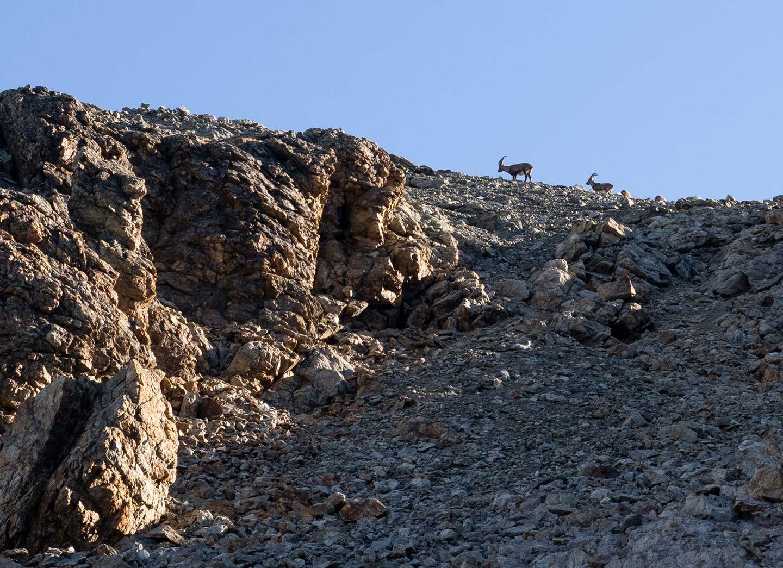 Steinböcke, Auslöser eines kleinen Steinschlags